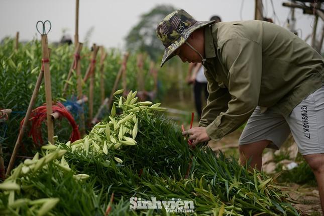 Nhộn nhịp cánh đồng hoa loa kèn đang thu hoạch ở Hà Nội ảnh 6