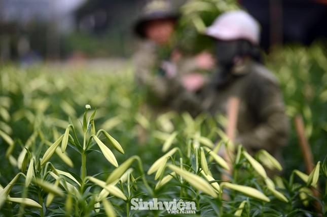 Nhộn nhịp cánh đồng hoa loa kèn đang thu hoạch ở Hà Nội ảnh 5