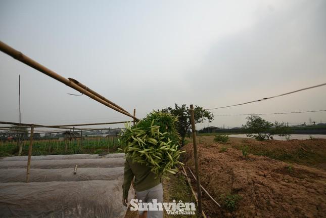 Nhộn nhịp cánh đồng hoa loa kèn đang thu hoạch ở Hà Nội ảnh 8