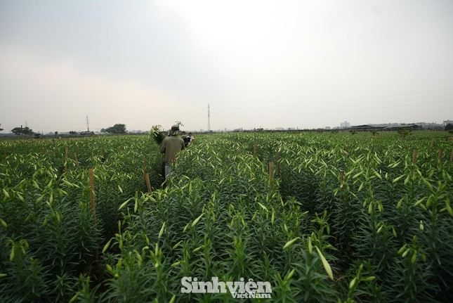Nhộn nhịp cánh đồng hoa loa kèn đang thu hoạch ở Hà Nội ảnh 9