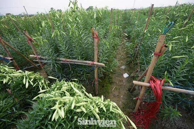 Nhộn nhịp cánh đồng hoa loa kèn đang thu hoạch ở Hà Nội ảnh 13