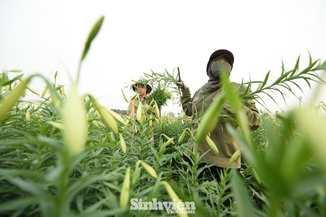 Nhộn nhịp cánh đồng hoa loa kèn đang thu hoạch ở Hà Nội ảnh 3
