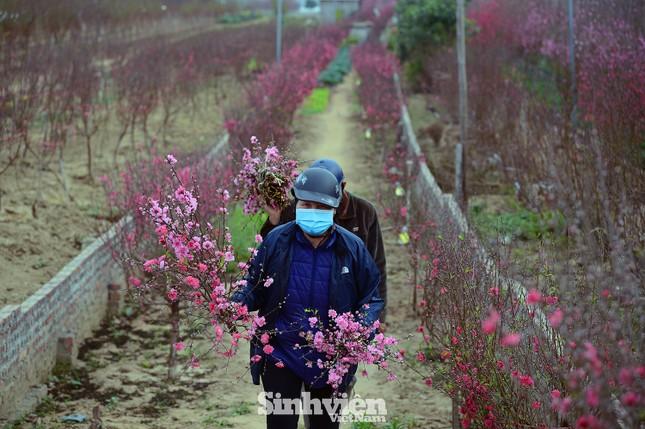 """Cận cảnh vườn đào Nhật Tân được giới trẻ """"Check-in"""" ngày cuối năm ảnh 6"""