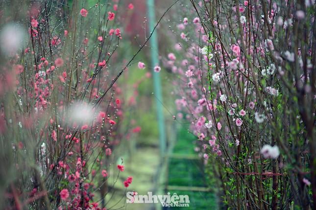 """Cận cảnh vườn đào Nhật Tân được giới trẻ """"Check-in"""" ngày cuối năm ảnh 7"""