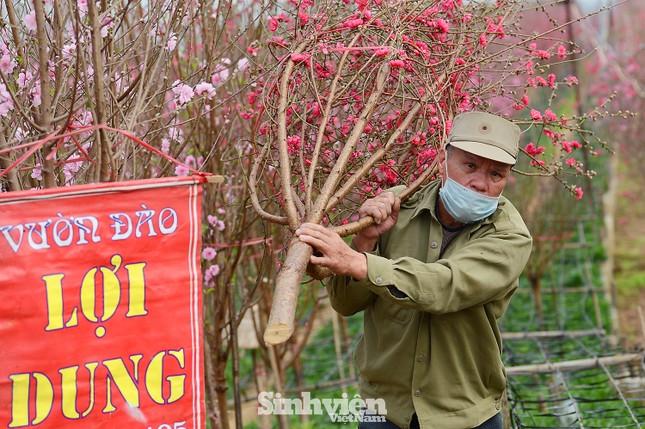 Những cành đào cuối cùng ở Nhật Tân xuống phố cận Tết Tân Sửu ảnh 7