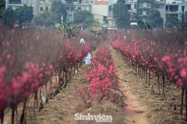 Những cành đào cuối cùng ở Nhật Tân xuống phố cận Tết Tân Sửu ảnh 8