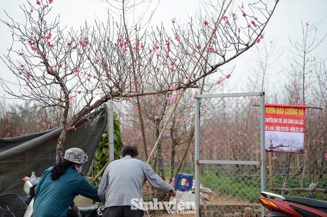 Những cành đào cuối cùng ở Nhật Tân xuống phố cận Tết Tân Sửu ảnh 5
