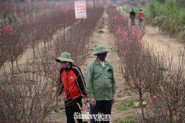 Những cành đào cuối cùng ở Nhật Tân xuống phố cận Tết Tân Sửu ảnh 1