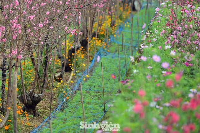 """Cận cảnh vườn đào Nhật Tân được giới trẻ """"Check-in"""" ngày cuối năm ảnh 4"""