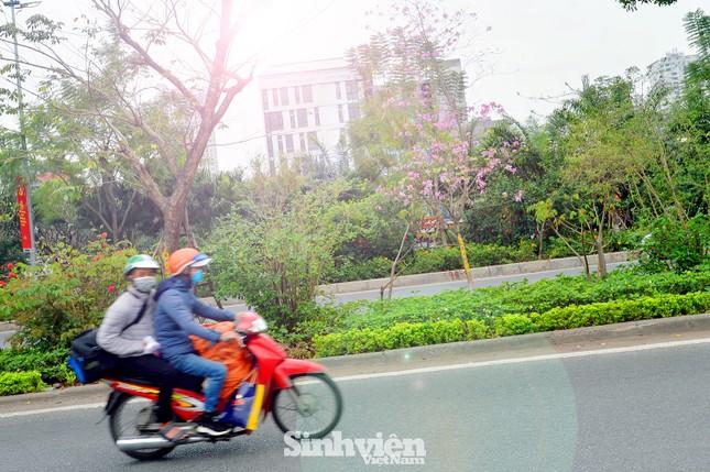 """Hoa ban Tây Bắc """"nhuộm tím"""" phố phường Hà Nội ảnh 8"""