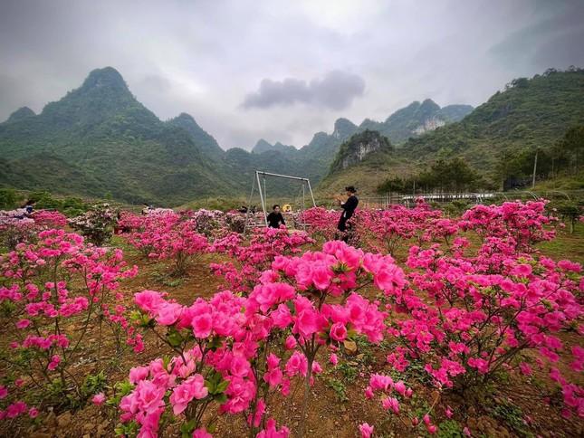Lạc vào thiên đường hoa đỗ quyên lớn nhất Việt Nam ảnh 1