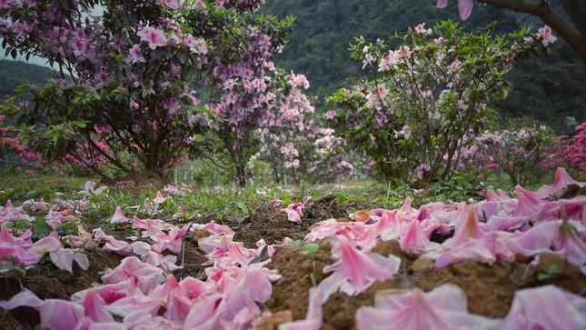 Lạc vào thiên đường hoa đỗ quyên lớn nhất Việt Nam ảnh 3