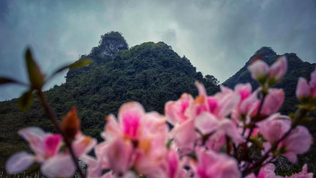 Lạc vào thiên đường hoa đỗ quyên lớn nhất Việt Nam ảnh 4