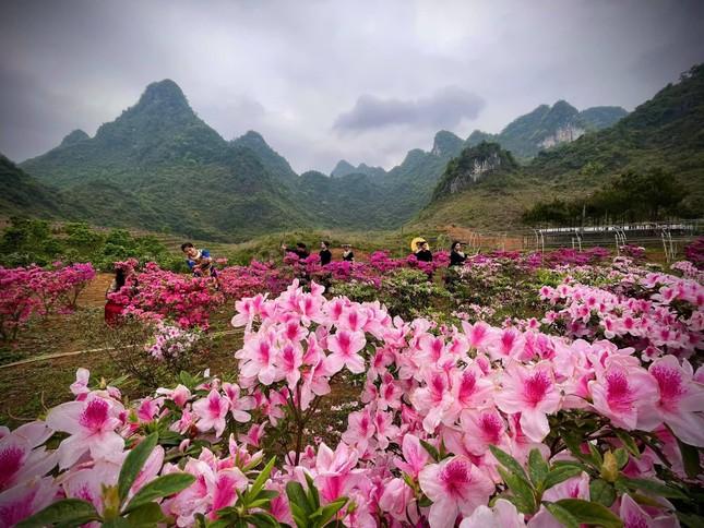 Lạc vào thiên đường hoa đỗ quyên lớn nhất Việt Nam ảnh 9