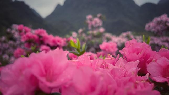 Lạc vào thiên đường hoa đỗ quyên lớn nhất Việt Nam ảnh 6