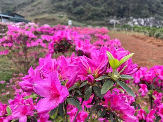 Lạc vào thiên đường hoa đỗ quyên lớn nhất Việt Nam ảnh 2