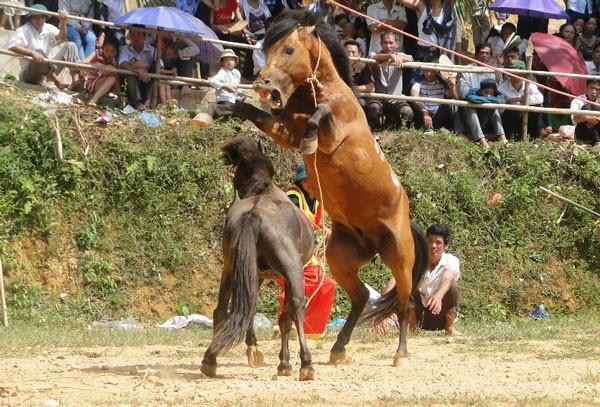 Chọi ngựa độc đáo ở Hà Giang ảnh 1