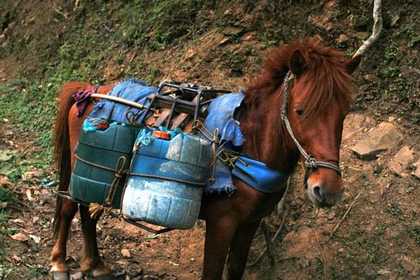 Chọi ngựa độc đáo ở Hà Giang ảnh 2