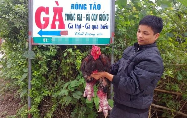 Cận cảnh gà Đông Tảo trả giá 30 triệu đồng không bán ảnh 8