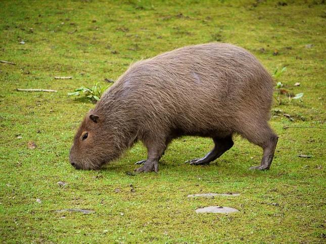 1001 thắc mắc: Loài chuột nào dài nhất thế giới? ảnh 1