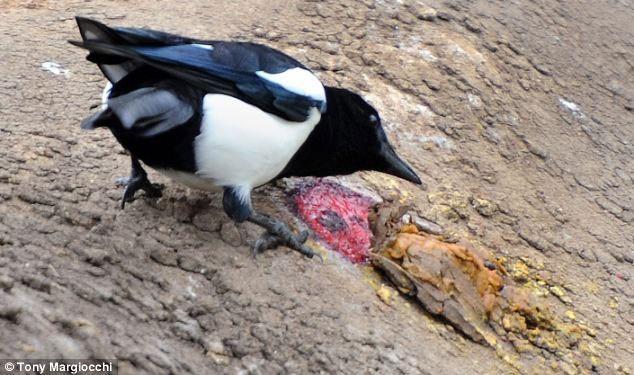 1001 thắc mắc: Chim ác là hay tấn công người, sao vẫn được yêu quý tại Úc? ảnh 2