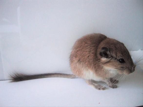 """1001 thắc mắc: Loài chuột nào làm """"chuyện ấy"""" lâu đến chết vì kiệt sức? ảnh 1"""