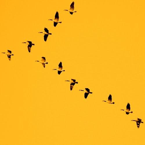 1001 thắc mắc: Sự thực có phải chim di cư là do chúng sợ lạnh? ảnh 1