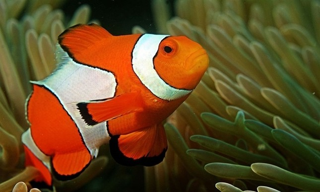 1001 thắc mắc: Loài cá nào chỉ mất 20 ngày để chuyển giới từ cái thành đực? ảnh 1