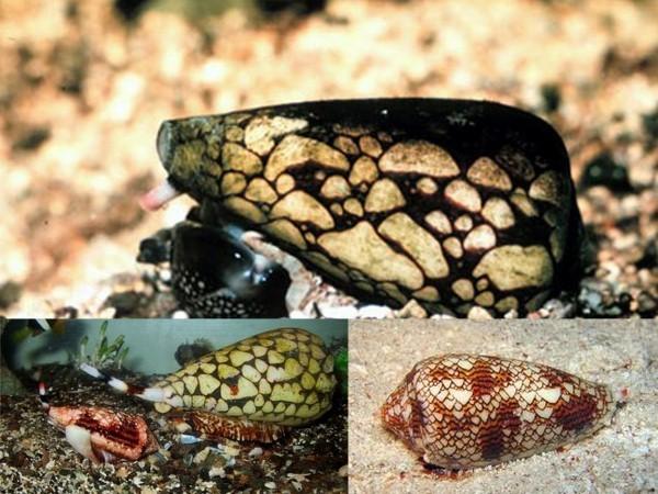 Loài ốc sên nào mang vẻ đẹp lộng lẫy nhưng 'giết người' chỉ trong nháy mắt? ảnh 1