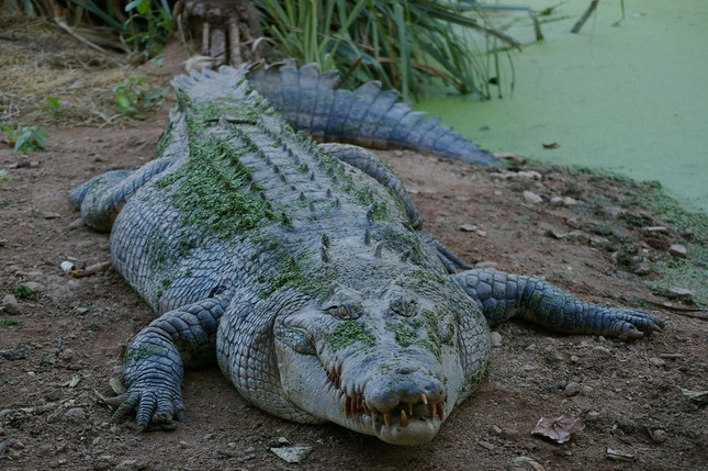 1001 thắc mắc: Những động vật nào siêu to khổng lồ nhất thế giới? ảnh 4