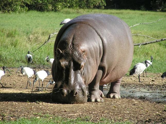 1001 thắc mắc: Những động vật nào siêu to khổng lồ nhất thế giới? ảnh 3