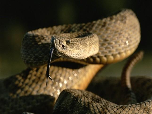 1001 thắc mắc: Vì sao rắn độc bị chặt đứt đầu vẫn có thể cắn người? ảnh 3