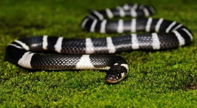 1001 thắc mắc: Vì sao rắn độc bị chặt đứt đầu vẫn có thể cắn người? ảnh 5