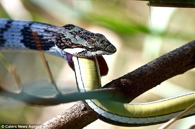 1001 thắc mắc: Vì sao rắn có thể tấn công con mồi 'không trượt phát nào' trong bóng tối? ảnh 1