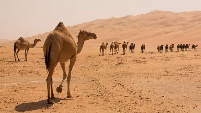 1001 thắc mắc: Không phải là nước, vậy bướu trên lưng lạc đà là gì? ảnh 1