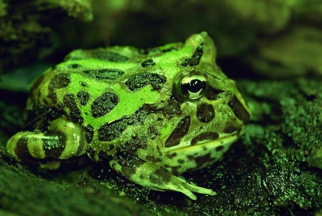 Loài ếch nào miệng chiếm 2/3 cơ thể, ăn thịt hung dữ? ảnh 1