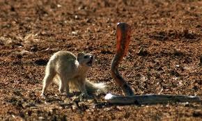 1001 thắc mắc: Những động vật nào là đối thủ khiến rắn hổ mang sợ 'chết khiếp'? ảnh 1