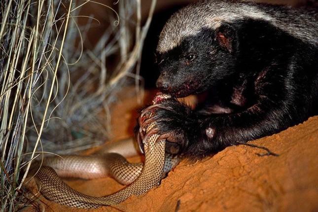 1001 thắc mắc: Những động vật nào là đối thủ khiến rắn hổ mang sợ 'chết khiếp'? ảnh 3