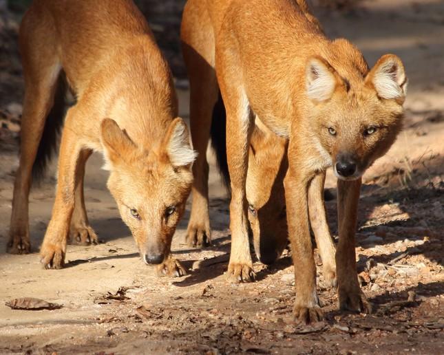 1001 thắc mắc: Loài chó nào có chiến thuật săn mồi đỉnh cao? ảnh 1