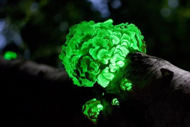 1001 thắc mắc: Loài gặm nhấm lớn nào có khả năng phát quang sinh học?  ảnh 1