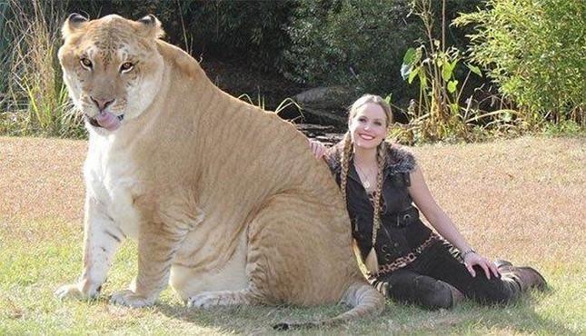 1001 thắc mắc: Loài hổ nào to nhất thế giới? ảnh 1
