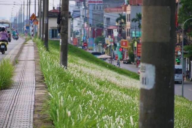 Những triền đê phủ trắng cỏ tranh ở Hà Nội ảnh 1