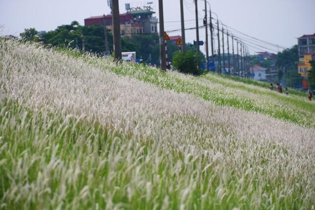 Những triền đê phủ trắng cỏ tranh ở Hà Nội ảnh 2