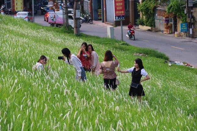 Những triền đê phủ trắng cỏ tranh ở Hà Nội ảnh 3
