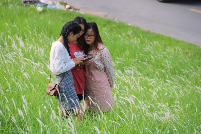 Những triền đê phủ trắng cỏ tranh ở Hà Nội ảnh 5