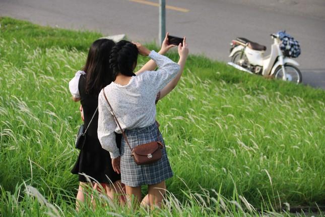Những triền đê phủ trắng cỏ tranh ở Hà Nội ảnh 4