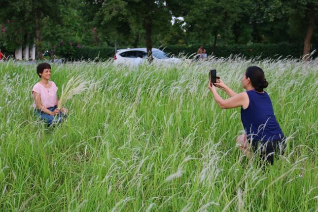 Những triền đê phủ trắng cỏ tranh ở Hà Nội ảnh 7