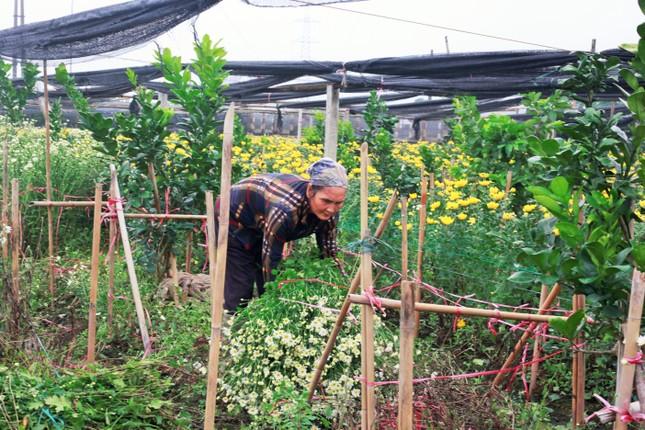 Làng Tây Tựu bận rộn, giá hoa tăng cao cận ngày 20/11 ảnh 6