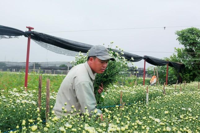 Làng Tây Tựu bận rộn, giá hoa tăng cao cận ngày 20/11 ảnh 5