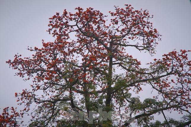 Hoa gạo nở đỏ rực góc phố Tràng Tiền ảnh 10